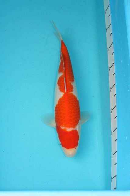2008-2009-grow-and-show-koi-no-12-sept-09-35cm.JPG