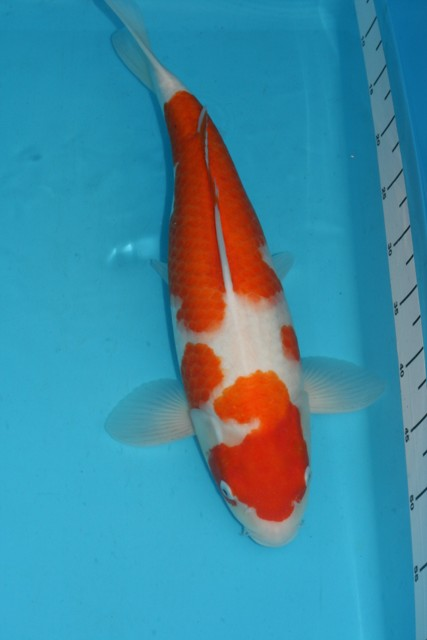 2008-2009-grow-and-show-koi-no-9-sept-09-47cm.JPG